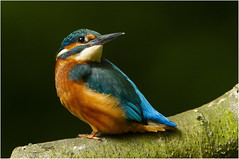Which way (Gary Watson) Tags: canon 7d 500 f4 1x4tc kingfisher juvenile river stream norfolk