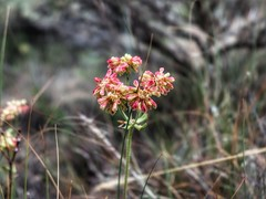 Summer Red (Robert Cowlishaw (Mertonian)) Tags: wildflower blossoms beauty beautiful small wonder awe ineffable canonpowershotg1xmarkiii markiii powershotg1x canon robertcowlishaw mertonian kneeling passion nature red