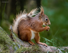 Red squirrel lunch box (jerry_lake) Tags: d750 hawes july2018 yorkshire yorkshiredales eating forest holidaytrip redsquirrel wildplaces woods