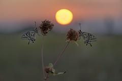 *Summer of swallowtails @ sunrise aurora* (Albert Wirtz @ Landscape and Nature Photography) Tags: albertwirtznaturephotography albertwirtzlandscapeandnaturephotography albertwirtzphotography albertwirtz bergweiler eifelmosel moseleifel südeifel eifel swallowtail schwalbenschwanz papilionidae papiliomachaon butterflyparadise butterfly butterflies meadow wiese sunnymorning morningsun sunriseaurora goldensunrise sunrise sonnenaufgang macro makro wiesenfeeling backlight gegenlicht haidafilternd09soft grauverlauffilter filter nature natur landscape landschaft paisaje paesaggi paysages campagne campagna goldenestunde goldenhour klee clover hilltopper hilltopping flower twilight makrofoto macrophoto nikon d810 micronikkor105mmf28vr allemagne germany deutschland rheinlandpfalz rhinelandpalatinate bruch