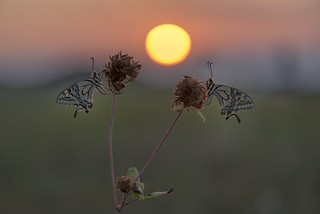 *Summer of swallowtails @ sunrise aurora*