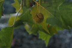 l'Amélie Frankrijk (wimrozenberg) Tags: boom plataan