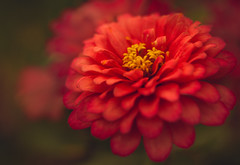 Shine for me again (Hanna Tor) Tags: nature garden color colorful bokeh hannator petal bloom blossom summer red sony