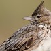 Crested Lark (Phil Gower Bird Photography) Tags: crested lark nature wildlife