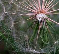 AL9A3973-edit (Erin A. Merritt Photography) Tags: canon 5d markiv palouse washington nature beauty travel macro details soft pink green wish wishes detail