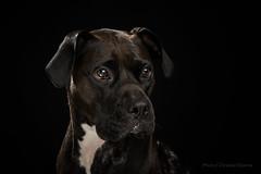 Carbone (Christian Dionne) Tags: carbone dog rescue shelter chien boxer pitt pittbull nikon d800 nikkor 105mm 14 alienbee strobe