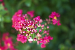 Rosebuds (Peeb-OK) Tags: rose roses flower bud buds nikon color nature flowers nikor