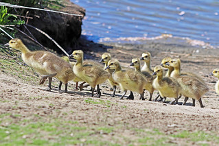 Canada Geese and Goslings 18-0505-5734