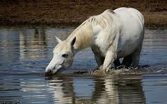 Camarguais.. (Bangui59) Tags: cheval horse camarguais