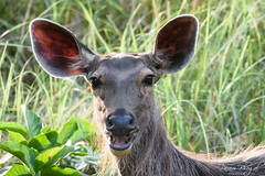 Sambar Portrait (PB2_2737) (Param-Roving-Photog) Tags: indian sambar deer animal wildlife nature jungle closeup portrait chilla rajaji nationalpark sanctuary uttarakhand india wildlifephotographer sunlight afternoon shadows nikond7200 tamron150600