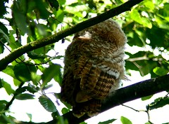 Not turning round 23.6.18 (ericy202) Tags: tawnyowl fledging feathers tree leaves titchwellrspb