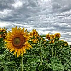 The sun in your heart (Tobi_2008) Tags: sonnenblumen sunflowers blumen flowers himmel sky natur nature
