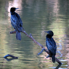 Australian Little Black Cormorant (RJAB2012) Tags: cormorant australian waterfowl bird black greeneyes 100v10f