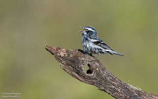 Black-and-white Warbler ( Male)