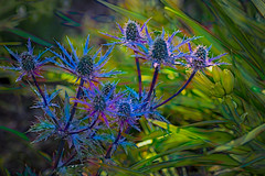 Cezanne's Sea Holly (Colormaniac too - Many thanks for your visits!) Tags: eryngium seaholly eryngiumzabeliibigblue perennial flower blueflower garden digitalpainting colorful summer blooms blossoms topazstudio netartll greenscene hss