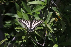 IMG_4661 (edward_rooks) Tags: sierraazulopenspacepreserve bald mountain mount umunhum insects wildflowers butterflies bees wasps assassin bug