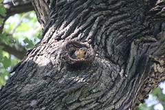 Squirrels in Ann Arbor at the University of Michigan (June 26th, 2018) (cseeman) Tags: gobluesquirrels squirrels annarbor michigan animal campus universityofmichigan umsquirrels06262018 summer eating peanut juneumsquirrel juveniles juvenilesquirrels oaktree cavitynest treecavitynest foxsquirrels easternfoxsquirrels michiganfoxsquirrels universityofmichiganfoxsquirrels
