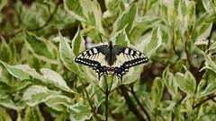 Schwalbenschwanz (Aah-Yeah) Tags: schwalbenschwanz schmetterling butterfly tagfalter swallowtail papilio machaon marquartstein achental chiemgau bayern