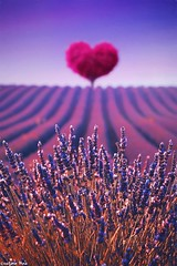 Bursts of gold (gusdiaz) Tags: photomanipulation photoshop digital art arte lavender fields country tree love heart saffron artistic beautiful colorful coth5