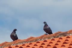Meeting on the roof (agrguro) Tags: birds sky sony manualfocus tokina tokina80200rmc sonya3000 pigeons