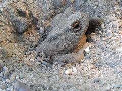 Bescherming tegen hitte | Gewone Pad (Bufo bufo) (Frank Berbers) Tags: gewonepad bufobufo amfibie amfibia anura bufonidae erdkröte kröte echtekröten commontoad europeantoad toad crapaudcommun nikoncoolpixs9500 hoensbroek zuidlimburg amphibian