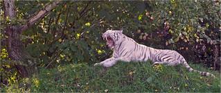 Rest break for the white tiger
