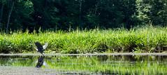 Take Off (Coast to Coast and In Between) Tags: maryland water marsh heron blueheron bird green greengrass kayak nature naturalbeauty wildlife sony mallowsbay park reflection