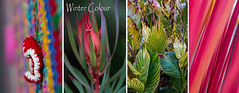 Winter colours (Greenstone Girl) Tags: leucadendron bright colours pink canna leaves striped knitted bollard cosy