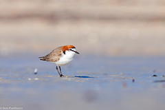 Red-capped Dotterel (Charadrius ruficapillus) (BenParkhurst) Tags: 2018 monkeymia aves australia outdoor small beach wa peronpeninsula bird charadriusruficapillus shorebird sharkbay outback waterbird wader indianocean wadingbird water charadriformes saltwater coastline wildlife dotterel widespread mudflats redcappeddotterel benparkhurst common ocean fauna coast wild westernaustralia