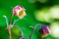 Montagne en fleurs (Ariège) (PierreG_09) Tags: benoîtedesruisseaux benoîtedeau geumrivale ariège pyrénées pirineos couserans flor flore fleur plante lacore pelouse montagne occitanie