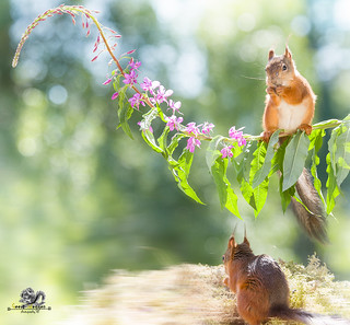 red squirrel is standing on a loosestrife