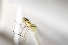 Dragon Fly (miroto2014) Tags: macrolens macro macrophotography insect insects dragonfly
