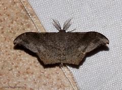 Hyposidra talaca (Walker, 1860) Geometridae (LennyWorthington) Tags: hyposidratalacawalker 1860