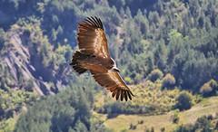 P1470070 (Denis-07) Tags: vautour rapace oiseau animal france rémuzat