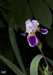 Iris (svet.llum) Tags: flor flores planta naturaleza parque moscú rusia verano