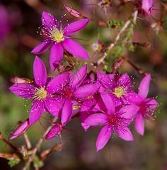 Calytrix fraseri, Jandakot Regional Park, near Perth, WA, 01/03/18 (Russell Cumming) Tags: plant calytrix calytrixfraseri myrtaceae jandakotregionalpark perth westernaustralia