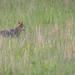 Coyote tracks rodent, Cades Cove