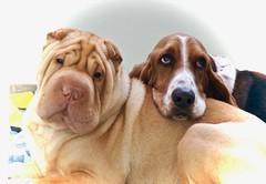 Best friends (Art's Corner) Tags: vriendschap friendship amizade sharpei dog basset hound cachorro hond fofo fun juntos