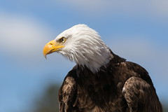 Last but not Least (Note-ables by Lynn) Tags: eagle bird animal birdsofprey baldeagle handganimalonly