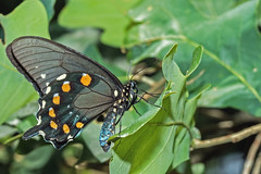 Pipevine Swallowtail (noblesgeorge1) Tags: