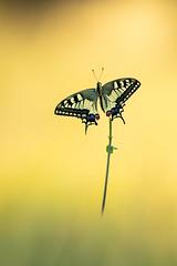 Machaon (schwartzdavid57) Tags: 2018 pentax macro papillon butterfly machaon proxy 300mm k3