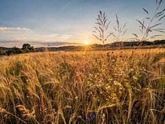 Summer in the countryside (Petr Horak) Tags: olympus landscape nature outdoor czechia em1 countryside summer bohemia mzuikopro m43 microfourthirds sky mirrorless golden europe mft field