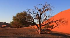 Desert Trees at Sossusvlei (3) (Richard Collier - Wildlife and Travel Photography) Tags: desert landscape namibia trees southernafrica sanddunes sossusvlei