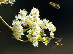 Denn Farm, Shropshire, UK (Andy Sut) Tags: nature campsite dennfarm shropshire uk england flowers flora petals wasps insects lumix andysutton bridgecamera amateur
