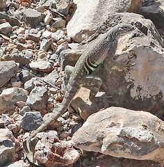 CAE016008a (jerryoldenettel) Tags: 180713 2018 cophosaurus cophosaurustexanus dogcanyontrail greaterearlesslizard iguania nm oliverleestatepark oteroco phrynosomatidae squamata earlesslizard lizard reptille