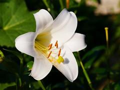 A flower macro of a white lily in my garden. (Bienenwabe) Tags: flower macro flowermacro lily whlitelily lilium cultivar liliaceae pollen pollencorn weiselilie lilie plant
