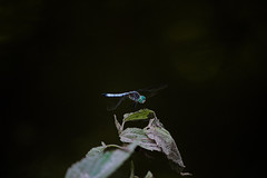 dark dragon (avflinsch) Tags: ifttt 500px wing macro dragonfly insect damselfly bug water summer dark blue black fly hunter dragon