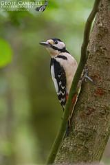 Great-spotted Woodpecker (Dendrocopos major) (gcampbellphoto) Tags: greatspottedwoodpecker dendrocoposmajor woodland bird nature wildlife avian gcampbellphoto scotland