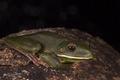 White-lipped Tree Frog (R. Francis) Tags: whitelippedtreefrog litoriainfrafrenata punsand capeyork capeyorkpeninsula queensland qld northqueensland ryanfrancis nyctimystesinfrafrenatus ryanfrancisphotography