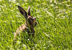 Wild Rabbit (ToxicPhoto89) Tags: sigma canon rabbit hase 150600mm eos 700d wildlife